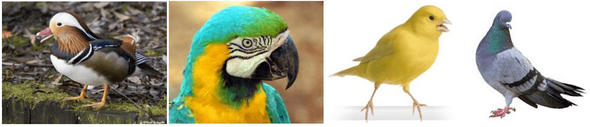 eend - papegaai - kanarie - duif - vogels -bloedluis.be